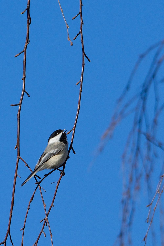 Singing Chickadee