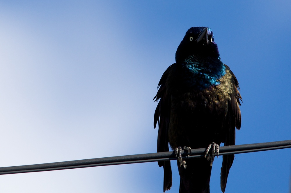 Another Grackle.jpg