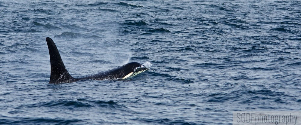Male Orca (W).jpg
