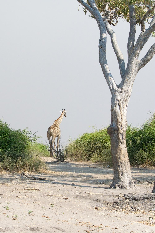 Lone Giraffe.jpg