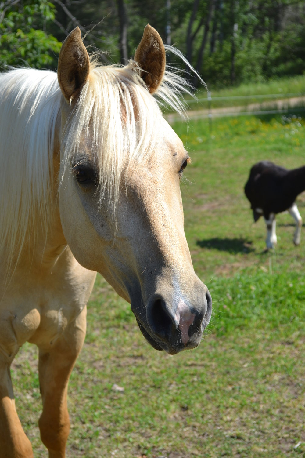 CASH  DOB: 2013                    Color: Palomino            Breed: Quarter Horse