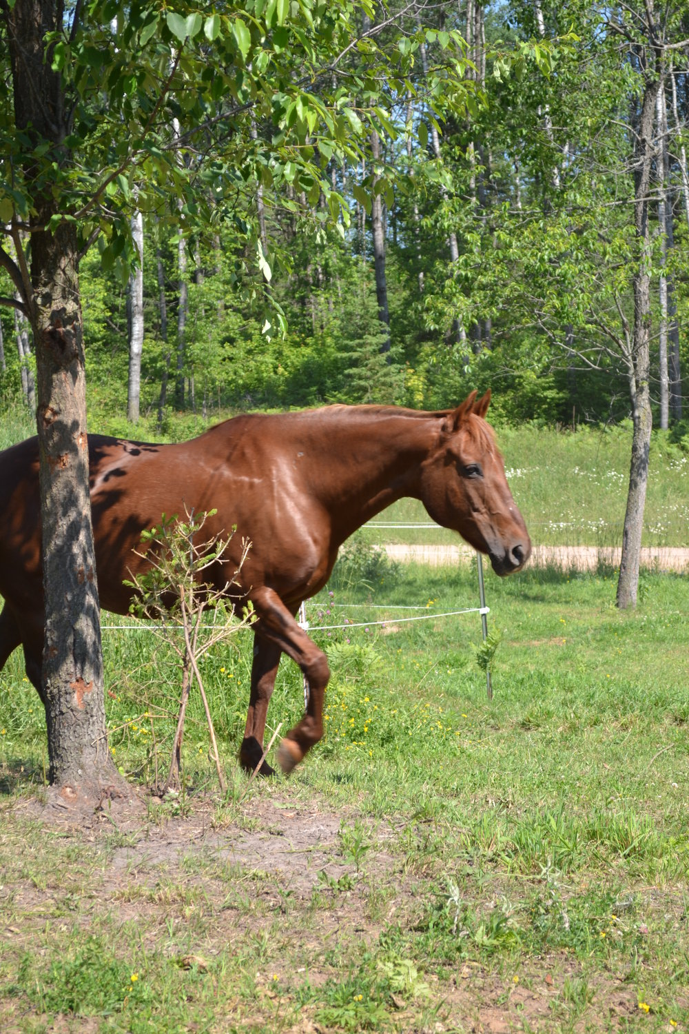 DOLLY  DOB: 1993                    Color: Chestnut            Breed: Morgan/Quarter Horse