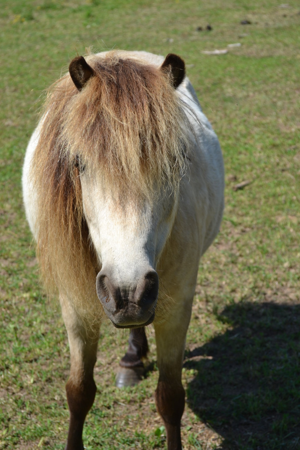 SAM  DOB: 2004                         Color: Buckskin                   Breed: Shetland Pony