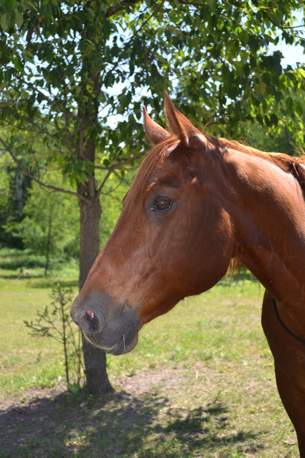 SKIP  DOB: 2003                         Color: Chestnut                   Breed: Quarter Horse