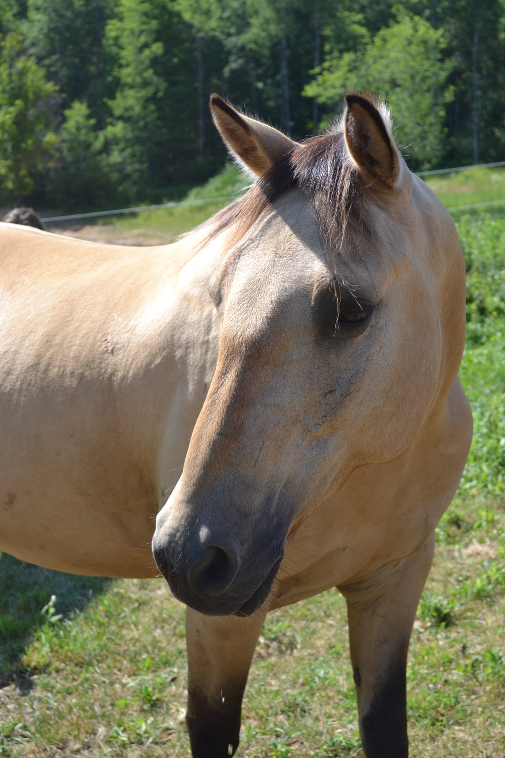 TAKODA  DOB: 2004                          Color: Yellow Dun                Breed: Quarter Horse/Morgan