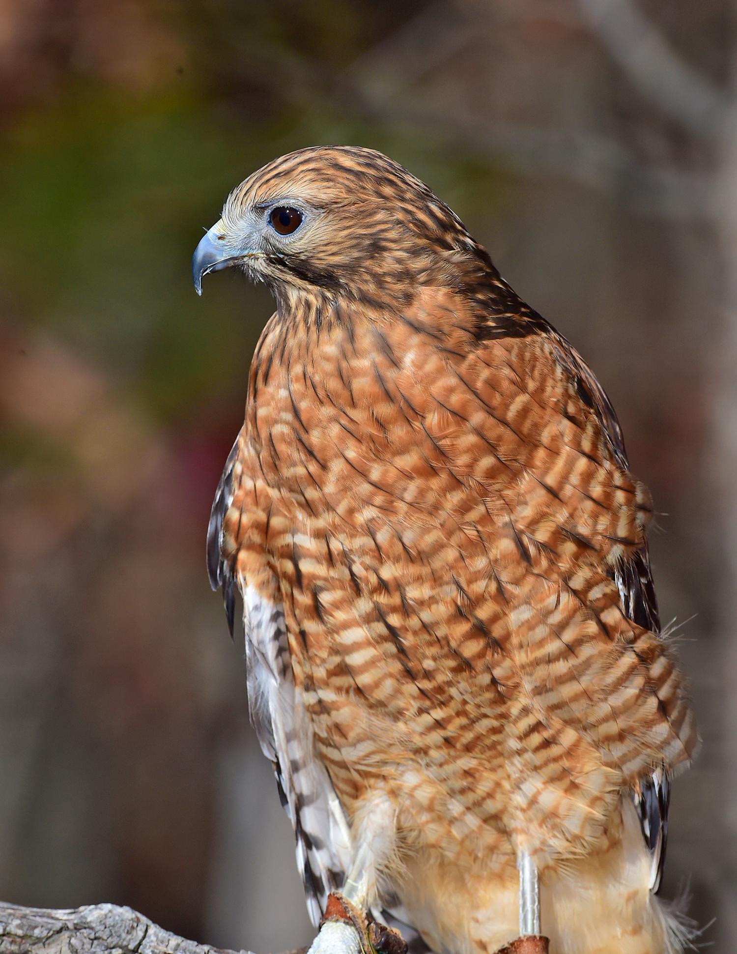 R Streufert Red Shouldered Hawk 2015 11 14