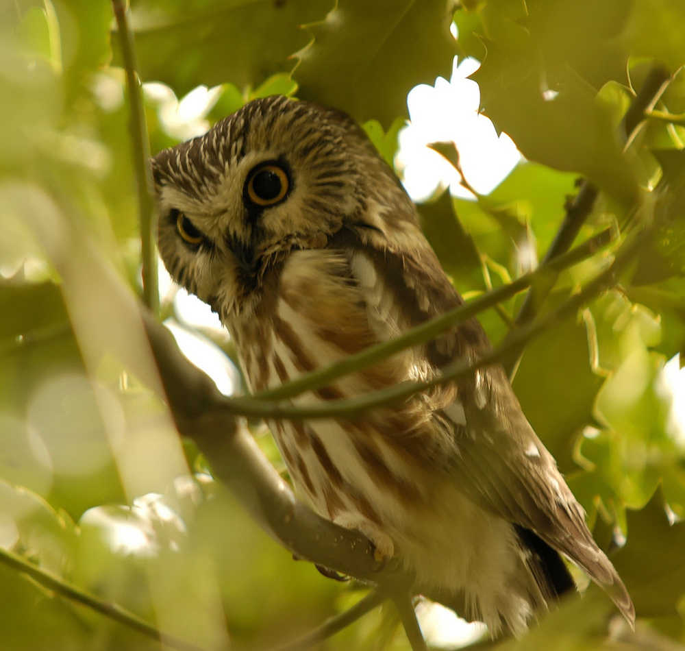 By Brendan Lally from Delta, Canada (Sawhet Owl) [ CC BY 2.0 ], via  Wikimedia Common s