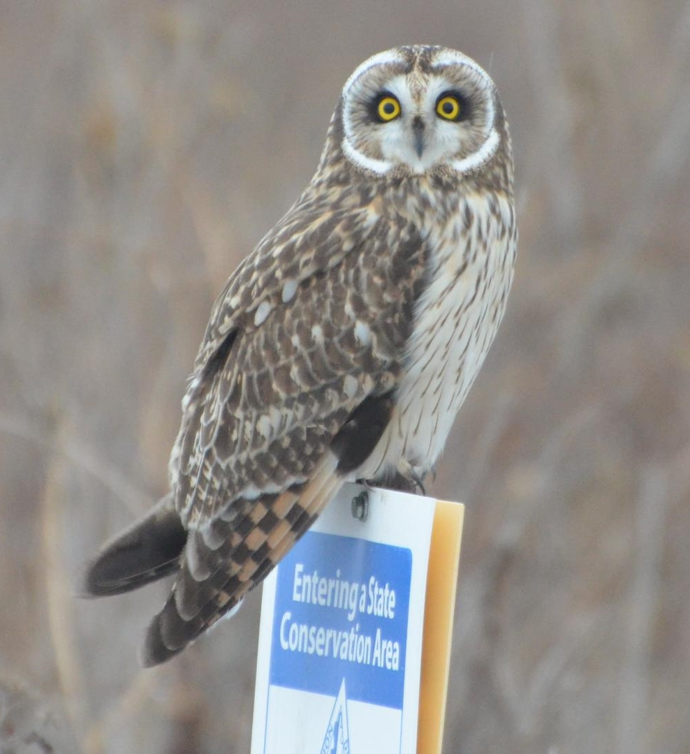 By Andy Reago & Chrissy McClarren (Short-eared Owl) [CC BY 2.0], via Wikimedia Commons
