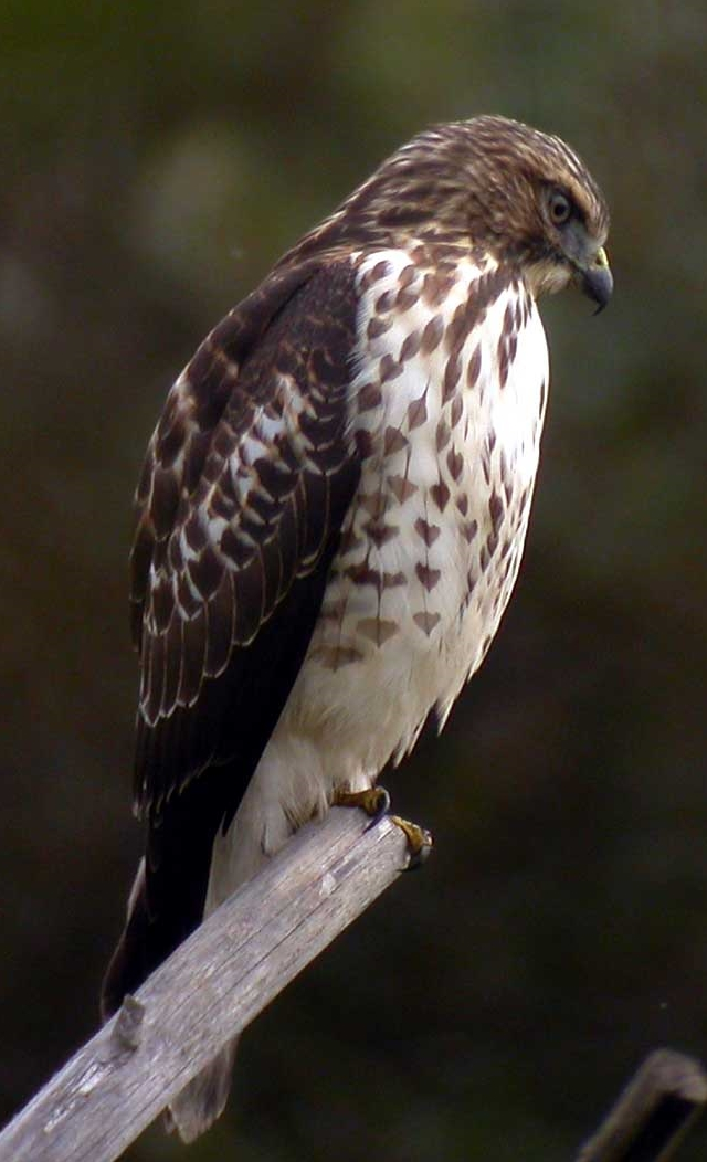 By Len Blumin from Mill Valley, California, United States (Broad-winged Hawk) [CC BY 2.0], via Wikimedia Commons