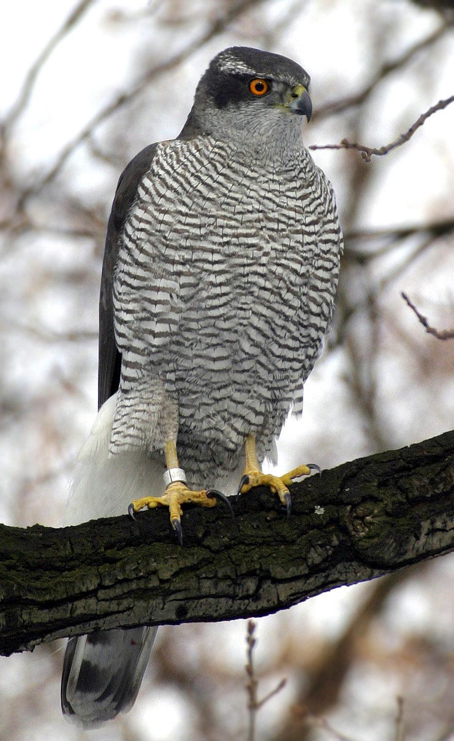 Northern Goshawk ad M2. [ CC BY-SA 3.0 ], via  Wikimedia Commons