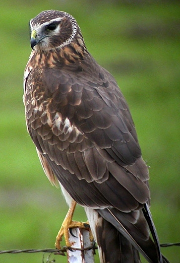 Female Northern Harrier - By Len Blumin from Mill Valley, California, United States (Northern Harrier) [ CC BY 2.0 ], via  Wikimedia Commons