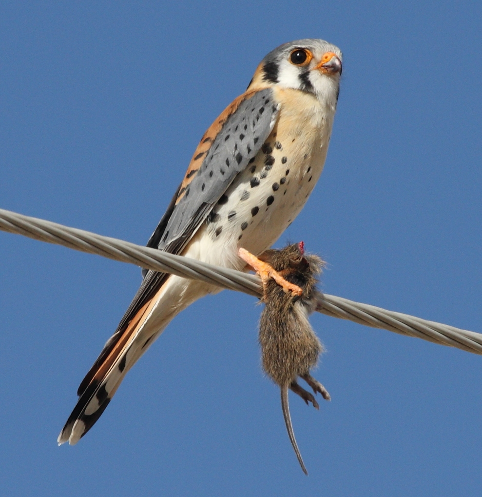 By Dominic Sherony (American Kestrel (Falco sparverius)) [ CC BY-SA 2.0 ], via  Wikimedia Commons