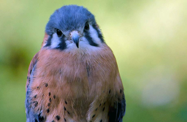 RCV's education American Kestrel,  Little Guy