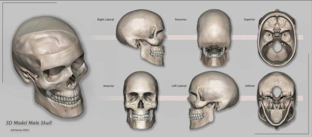 3D Male Skull Model