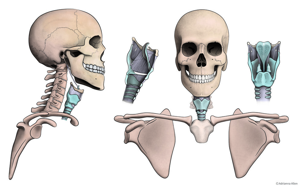 Skeletal Structure and Larynx