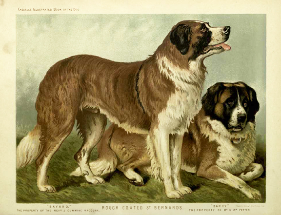 St. Bernards Illustration