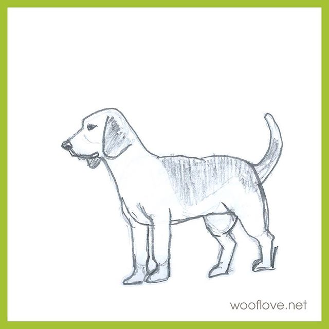 "Dog No. 29. Pencil sketch from the book ""Draw 50 dogs"" #the100dayproject #100daysofwoofloveart #dog #beagle #wooflove #woofloveblogart #doglover #pencilsketch"