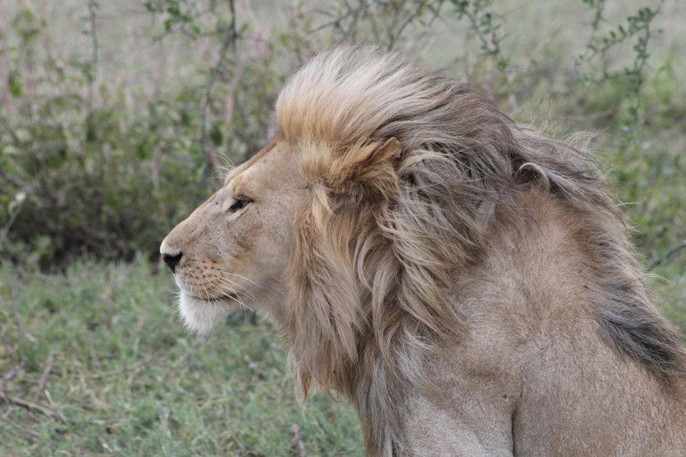 Newell_Lion 4.JPG
