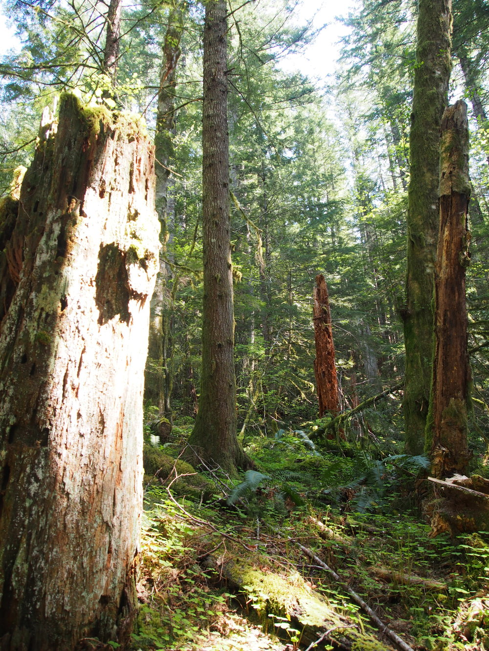 Old growth forests in the Northwest have natural habitat 'snags' everywhere which are the remnants from giant trees. They provide a perfect place for new life to form and old life to continue to grow.