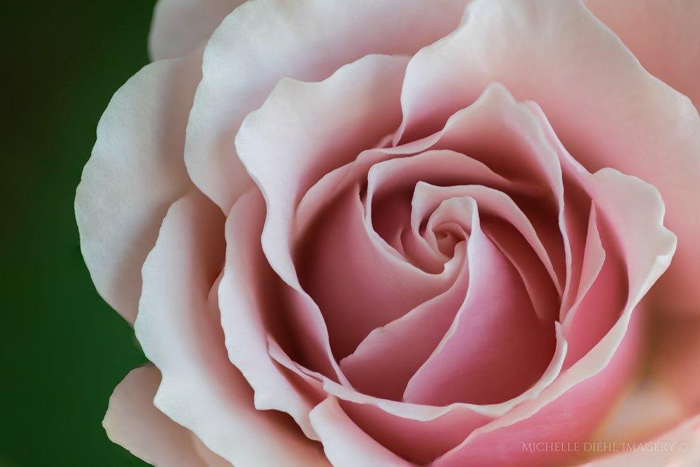 Soft Rose 4.jpg