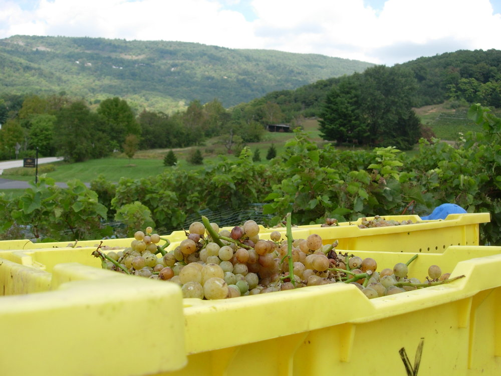 Harvest and Grape Processing