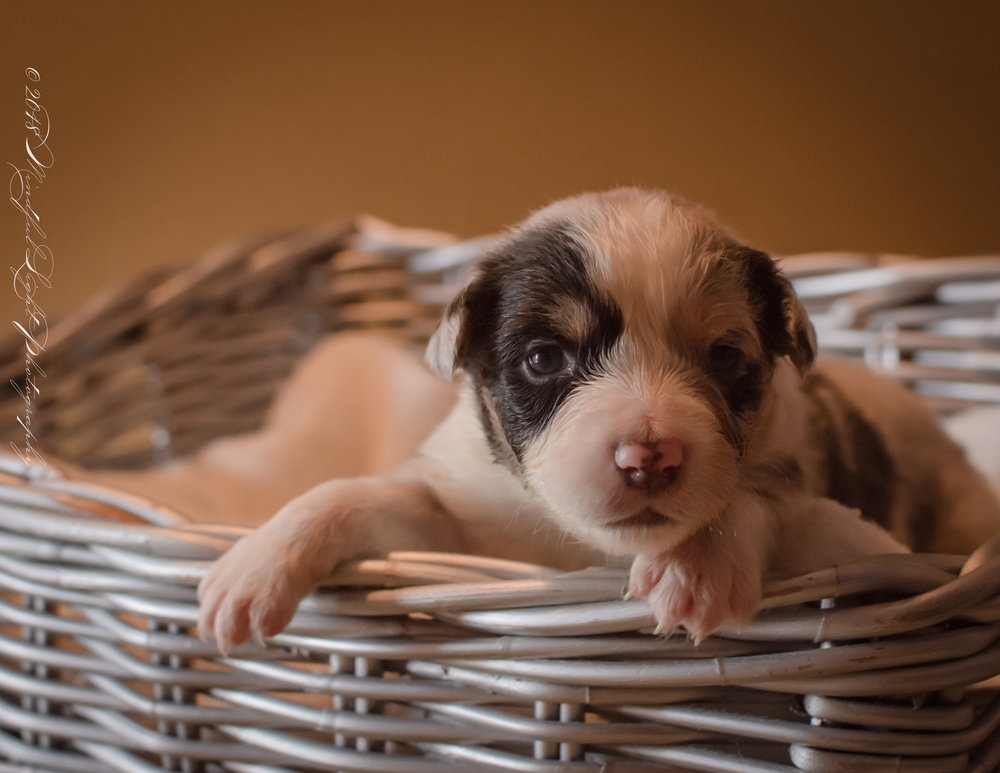 Baby Patches at 3 weeks old from Appleway Farm located in Rocky Mount VA.