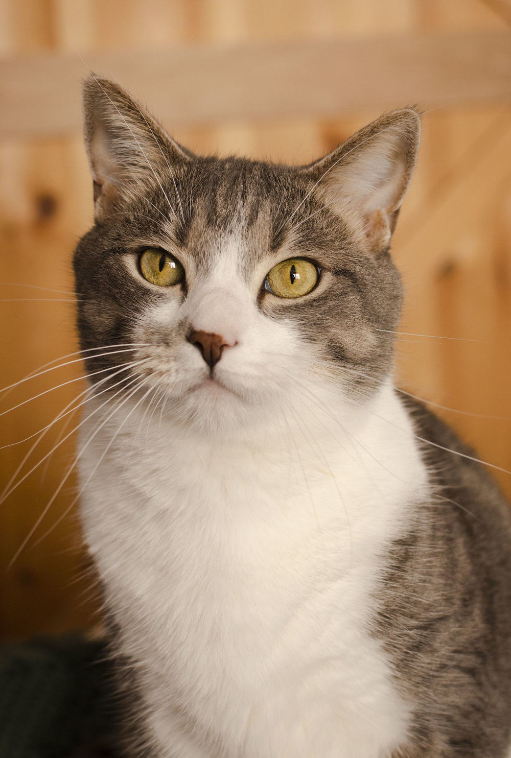 Gray a 9 year old 17 pound Tabby! What a big boy!