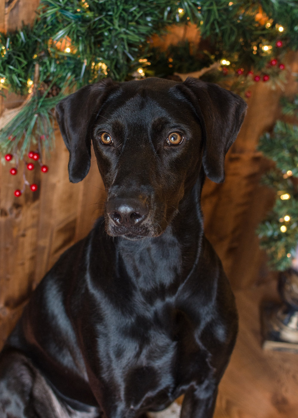 Samson! an 18 month old lab. Look at those beautiful brown eyes. This would make a beautiful Holiday Card!