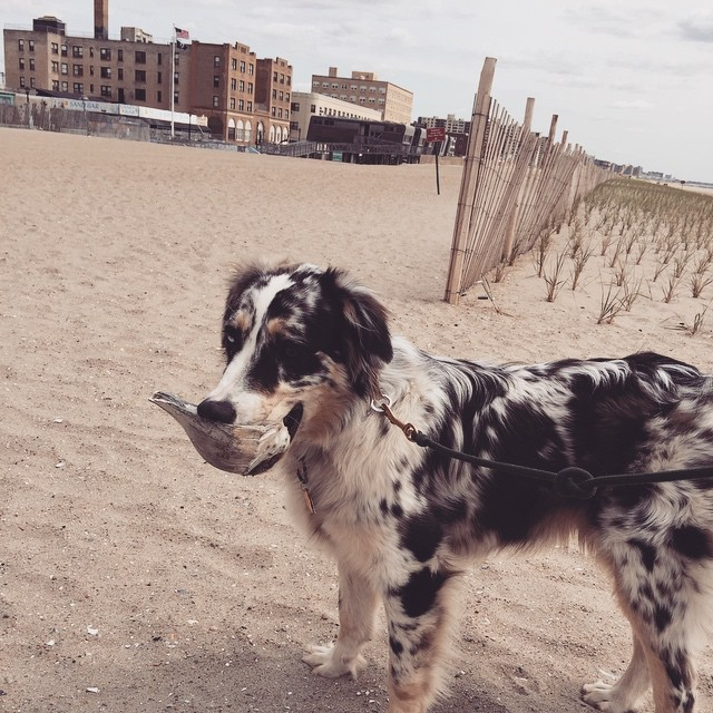 Finley's got his shell & he's ready to start MDW off right in #Rockaway #MDW #heartofqueens #queens #rockawaybeach #rbny (at Rockaway Park – Beach 116th Street)