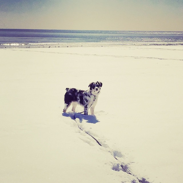 What a beach dog #finley #rockawaybeach #rockawaypark #queens #heartofqueens via @jpgilbert39 (at Rockaway Park – Beach 116th Street)