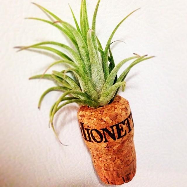 Cute little succulent in repurposed Mionetto prosecco cork planter from @corkbuds #lic @licflea