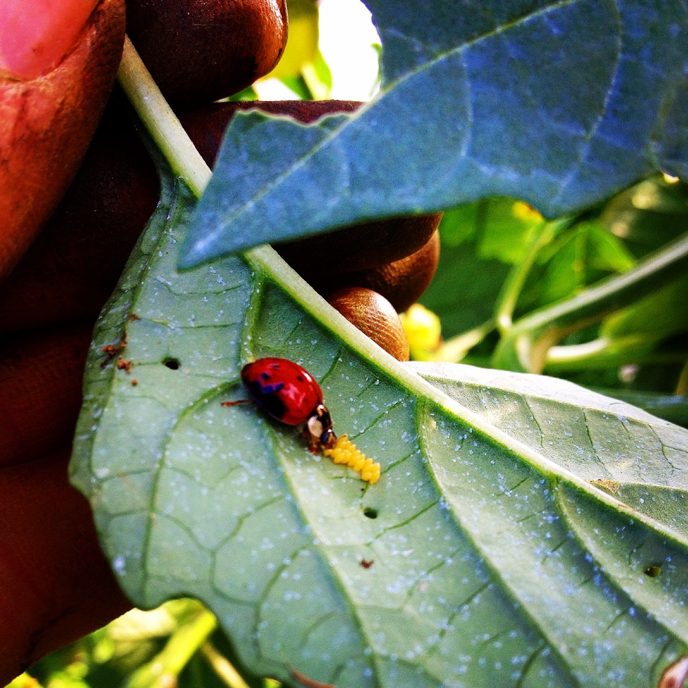 Ladybug eating Mexican Bean Beetle eggs.