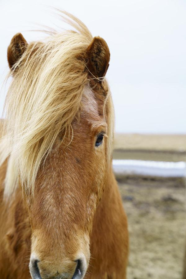 Brown Icelandic Horse