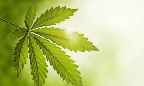 Cannabis-plant1.jpg
