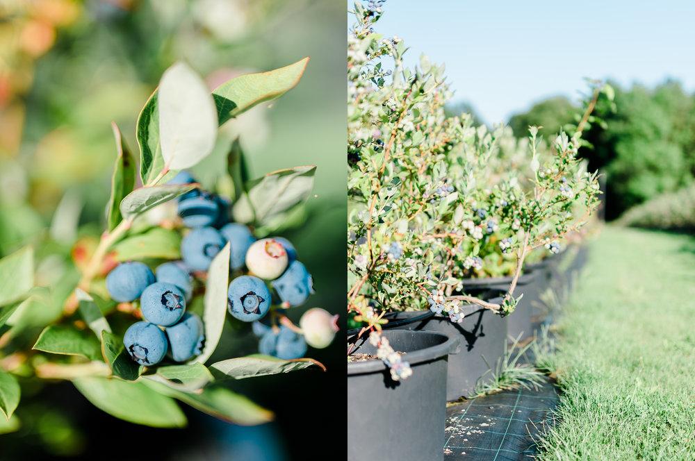 BlueberryFields.jpg