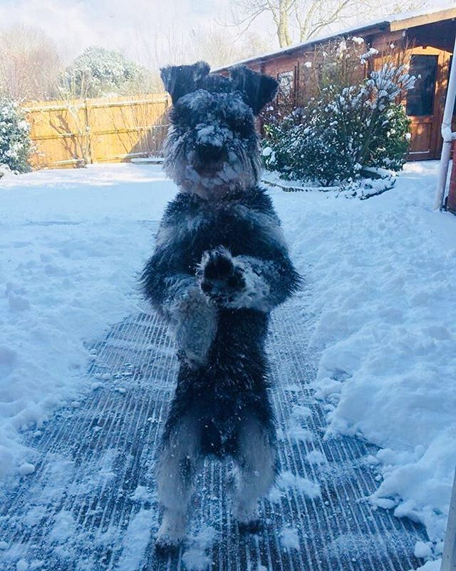 At least someone is loving #snowmageddon ❄️ Reggie the #snowdog 🐶  #singerlife #musicislife #singersofinstagram #cutedogsofinstagram