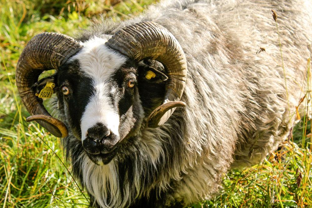 Flotte Cæsar kom til Lykkja i 2011 og var første væren på gården, veldig snill og gå flotte lam.
