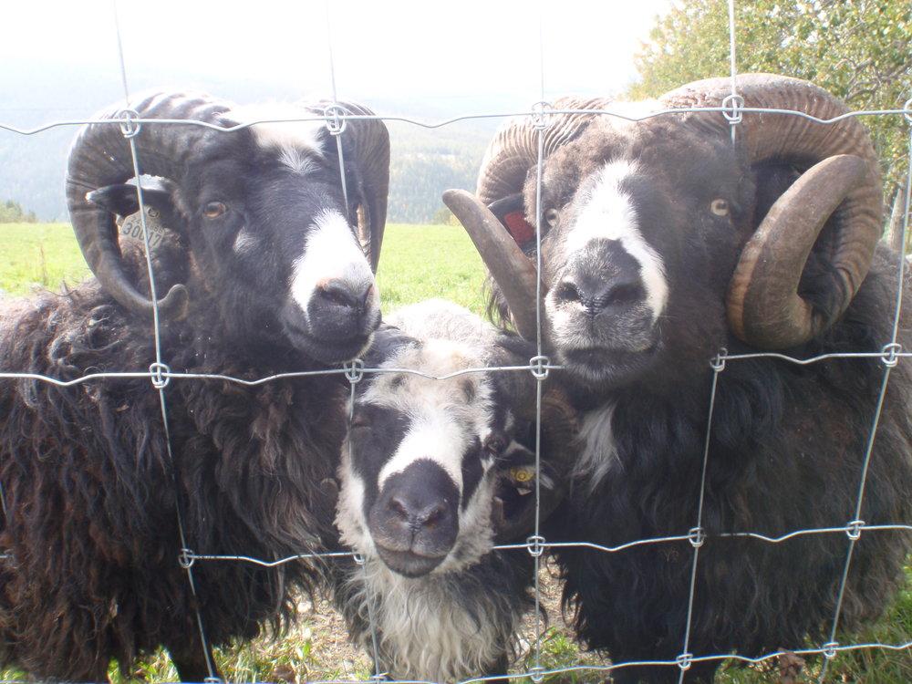 Da Cæsar ble solgt til Otta, fikk Brutus selskap av Ferdinand og Villmann. Ferdinand, avkom etter Godlynt, ble født på Lykkja, 2013, levert som kopplam til Dalseter, brukt i avl både på Dalseter, Lykkja og Slangen. Villmann kommer fra Dalseter, ble født i fjellet, har gått med søyene på Slangen og ble levert til Kvam i 2015. Ferdinand er fortsatt på Lykkja, nå som selskap for Napoleon, som er brukt i avl på Lykkja 2015 og 2016.