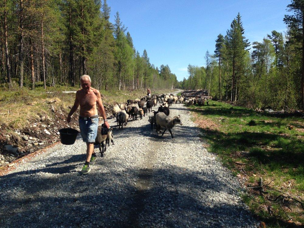 På vei til deilig setergras på Perslåa. Deretter venter høyfjellet og den store friheten.