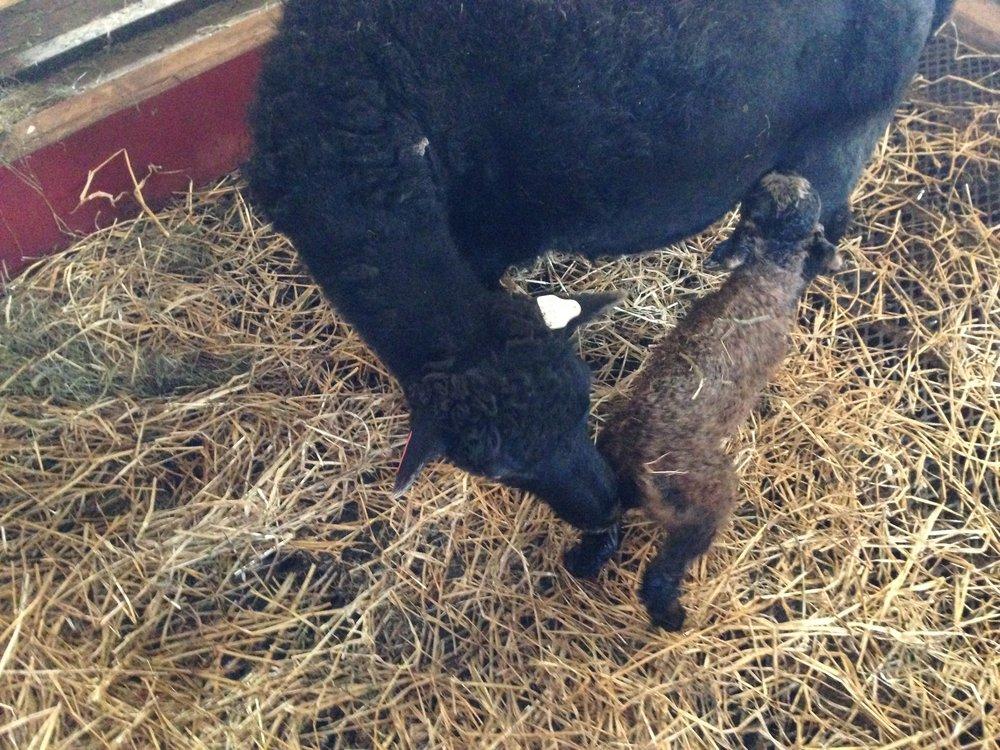 20. april 2017 - Årets første lam, Molly var igjen tidlig ute.