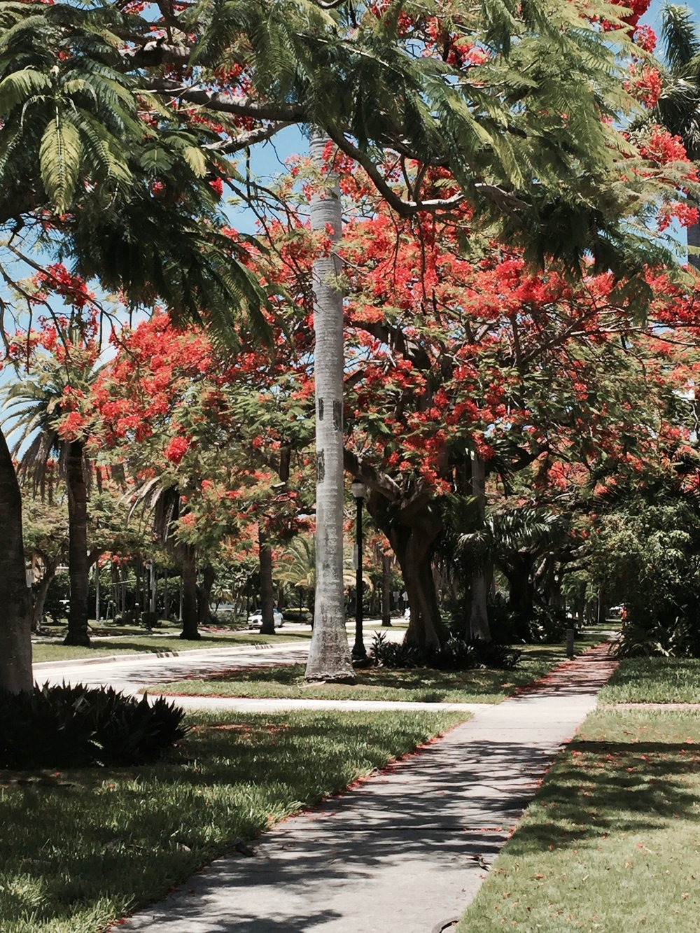 Blooming Poincianas in Historic South Miami Avenue — Nadia Bouzid