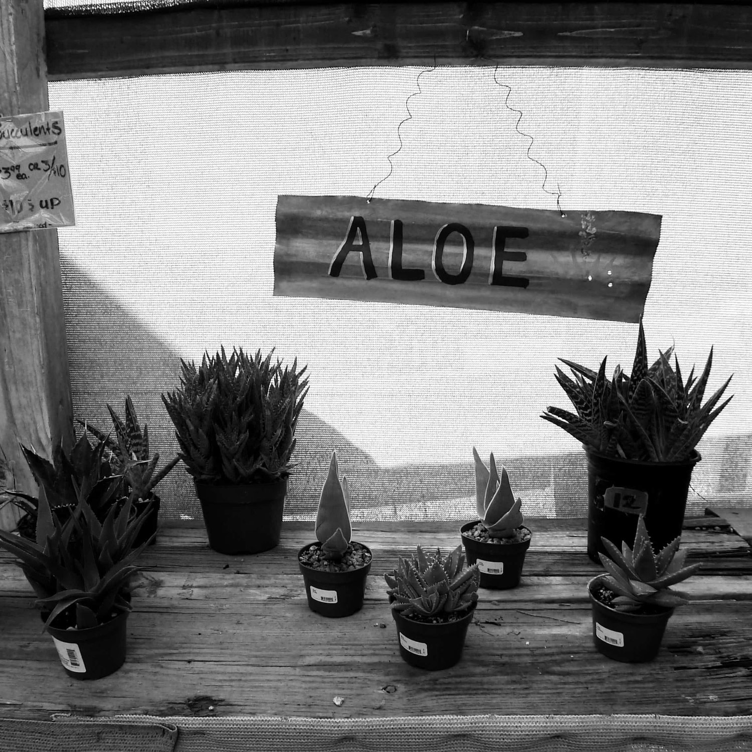 If You Only Buy 1 Plant It Should Be An Aloe Vera Beyond Square