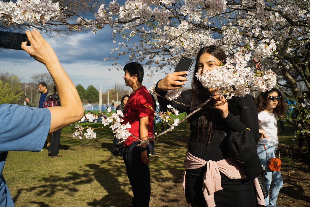 The cherry trees, planted in High Park, were a gift from the Japanese ambassador in 1959 to the people of Toronto for their support of Japanese-Canadian refugees after the Second World War.  Every year, people of all backgrounds come to see the Sakura.   Toronto 2017