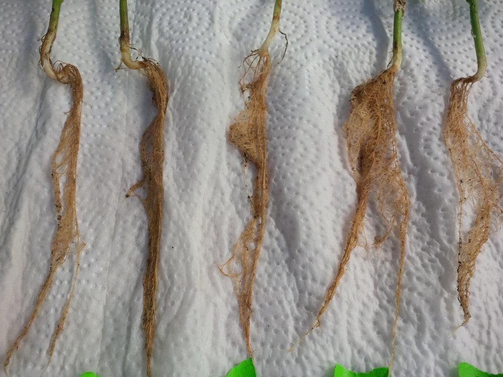 root health.jpg