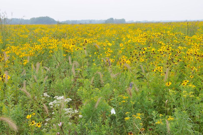 Native yellow flowers and grasses stretch to the horizon at Midewin.