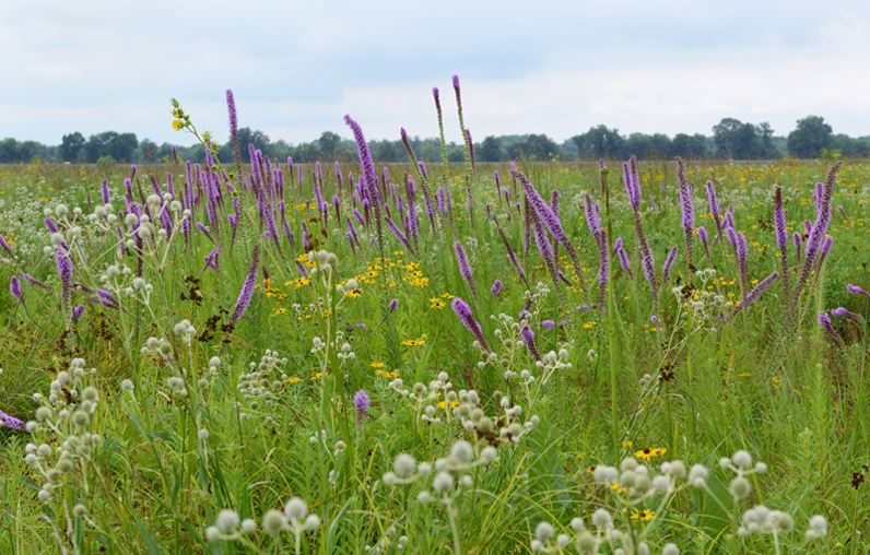 Blazing stars and rattlesnake master are two striking species in a richly diverse wet prairie habitat at the Dixon Waterfowl Refuge.