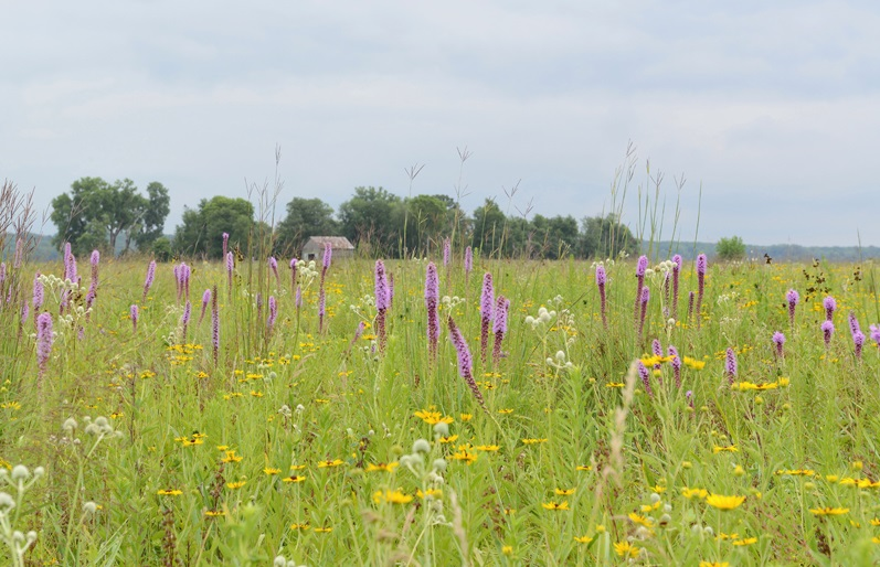 A view of Oak Ridge through blooming blazing star, rattlesnake master, and other native prairie species.