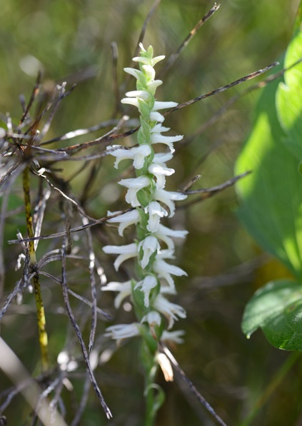 The ladies' tresses orchid.