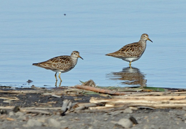 Pectoral sandpipers were among the birds spotted. Photo by Matthew Cvetas.