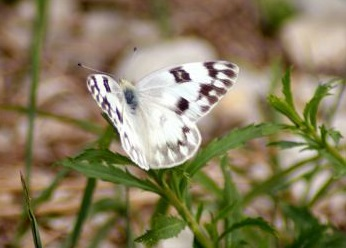 A Checkered White was one of the unusual species Penny and Carol found at South Patrol Road. This butterfly typically has a more southern range.